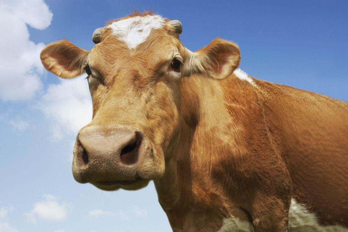 UNESCO e pentru boi, nu pentru vitei