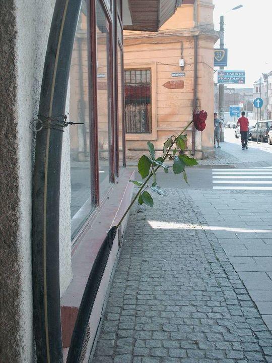 trandafir-urban