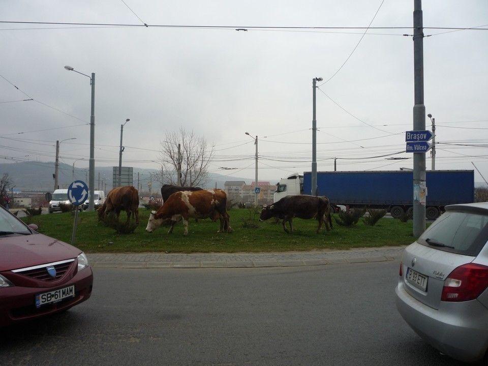 Sibiul vacilor