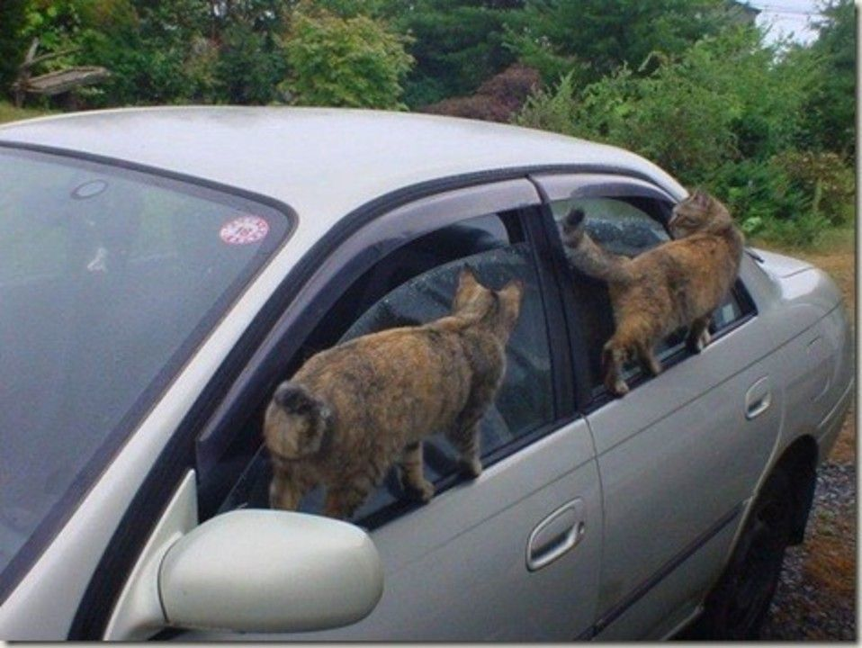 pisici la volan